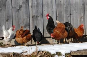 Augsburger Hahn mit Hühner