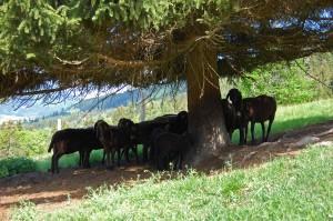 braune Bergschafe Herde